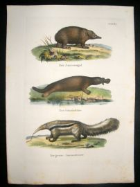 Schinz 1845 Antique Hand Col Print. Platypus, Ant Eater 31